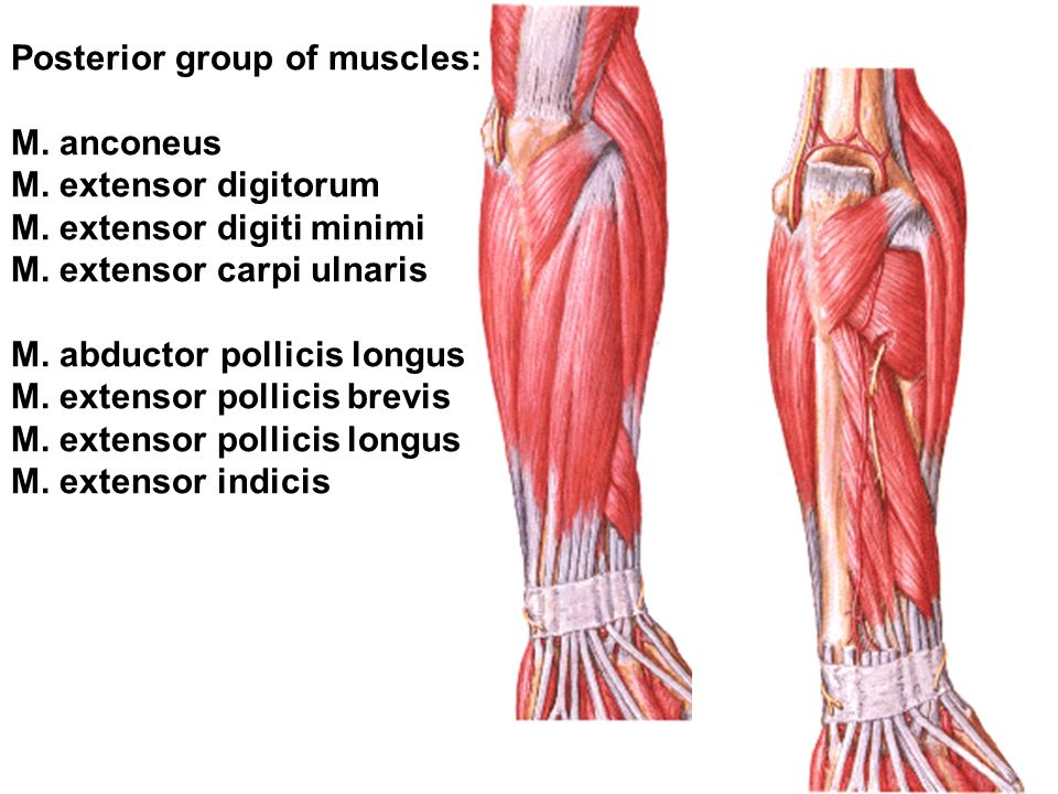 Anatomy of the upper limb