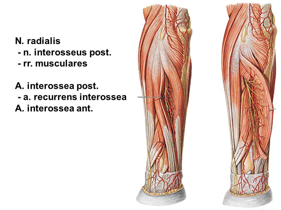 N. radialis - n. interosseus post. - rr. musculares. A. interossea post. - a. recurrens interossea.
