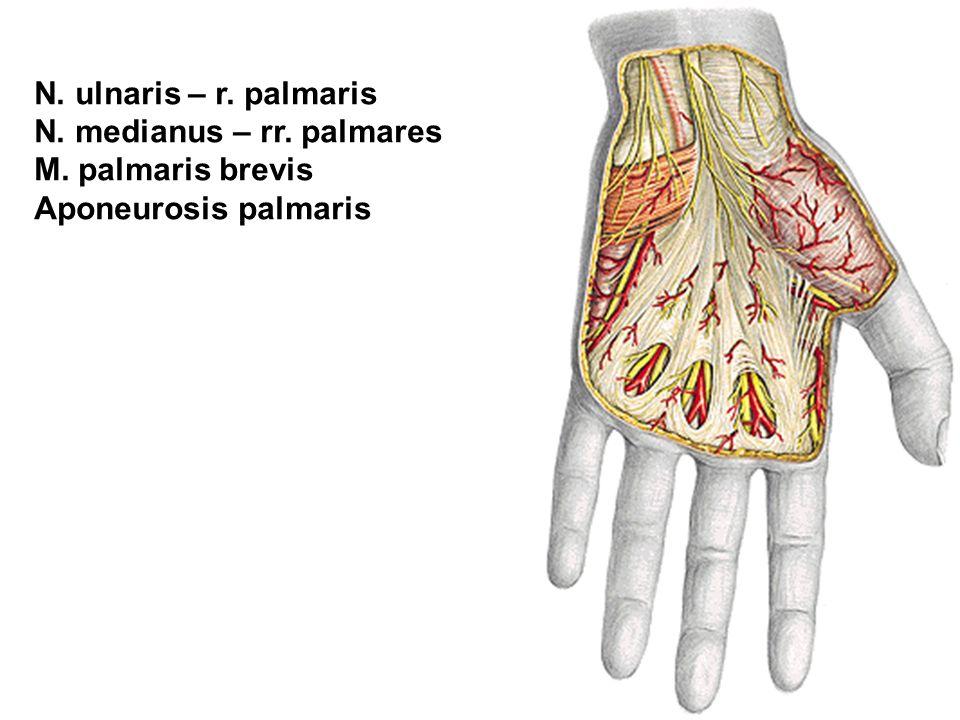 N. ulnaris – r. palmaris N. medianus – rr. palmares M. palmaris brevis Aponeurosis palmaris