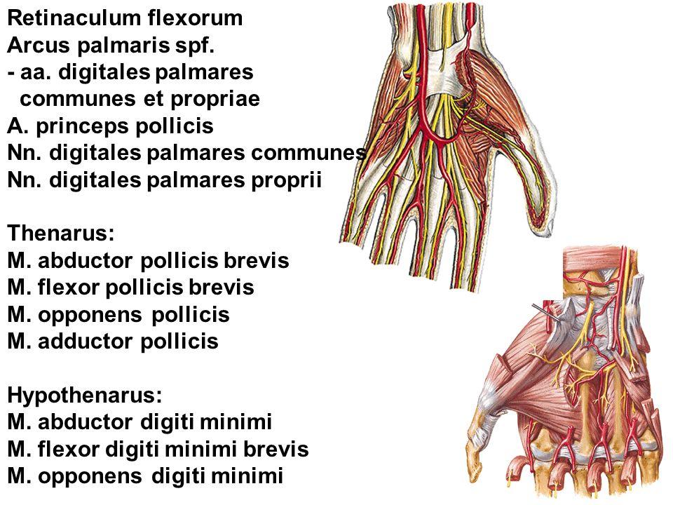Retinaculum flexorum Arcus palmaris spf. - aa. digitales palmares. communes et propriae. A. princeps pollicis.