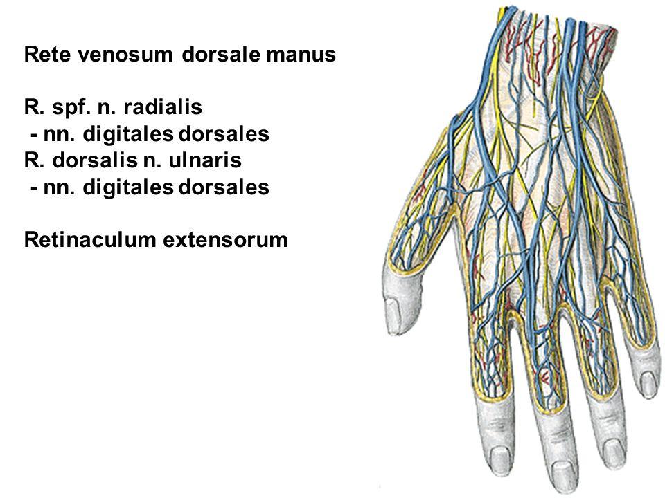 Rete venosum dorsale manus