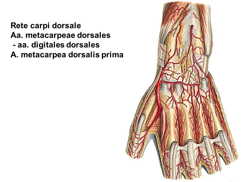 Rete carpi dorsale Aa. metacarpeae dorsales - aa. digitales dorsales A. metacarpea dorsalis prima