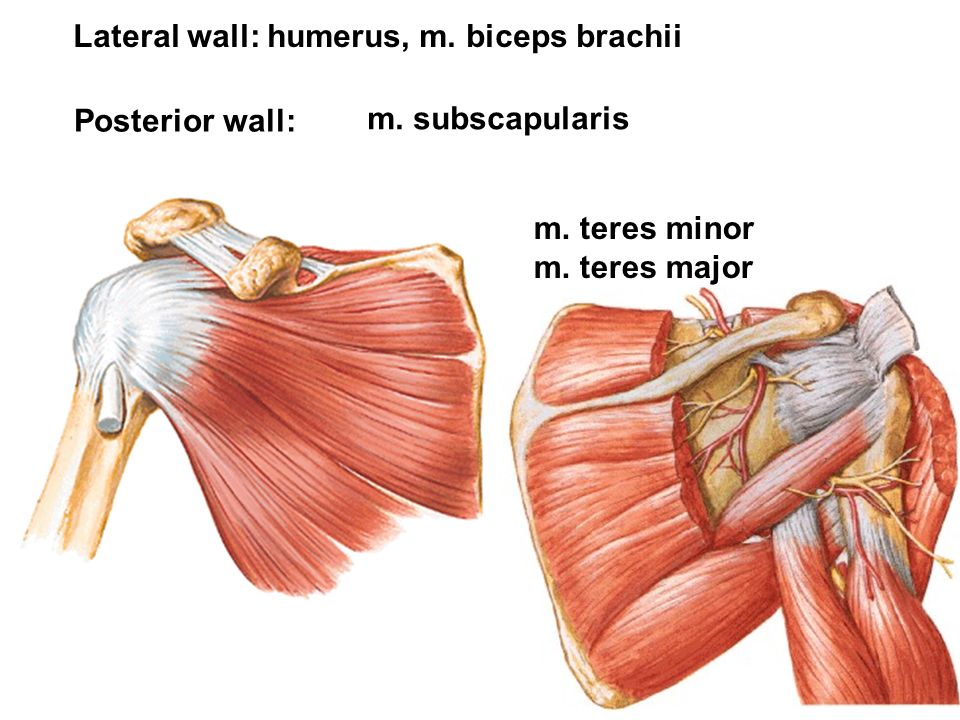 Lateral wall: humerus, m. biceps brachii