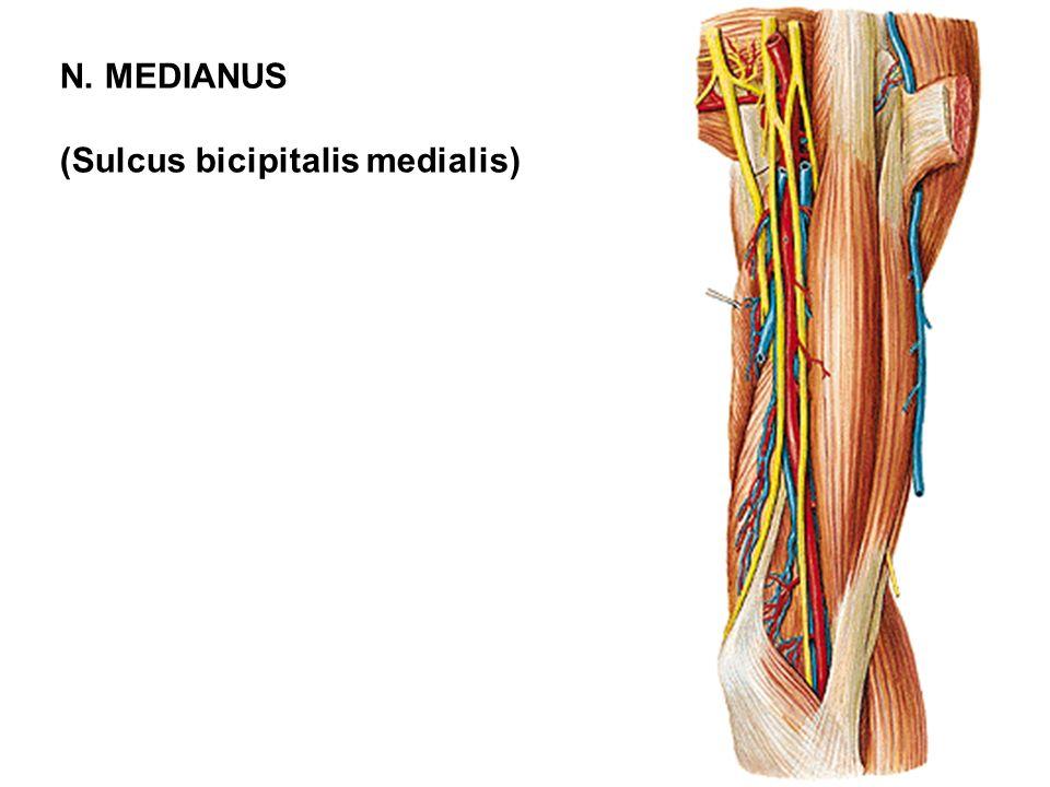 N. MEDIANUS (Sulcus bicipitalis medialis)