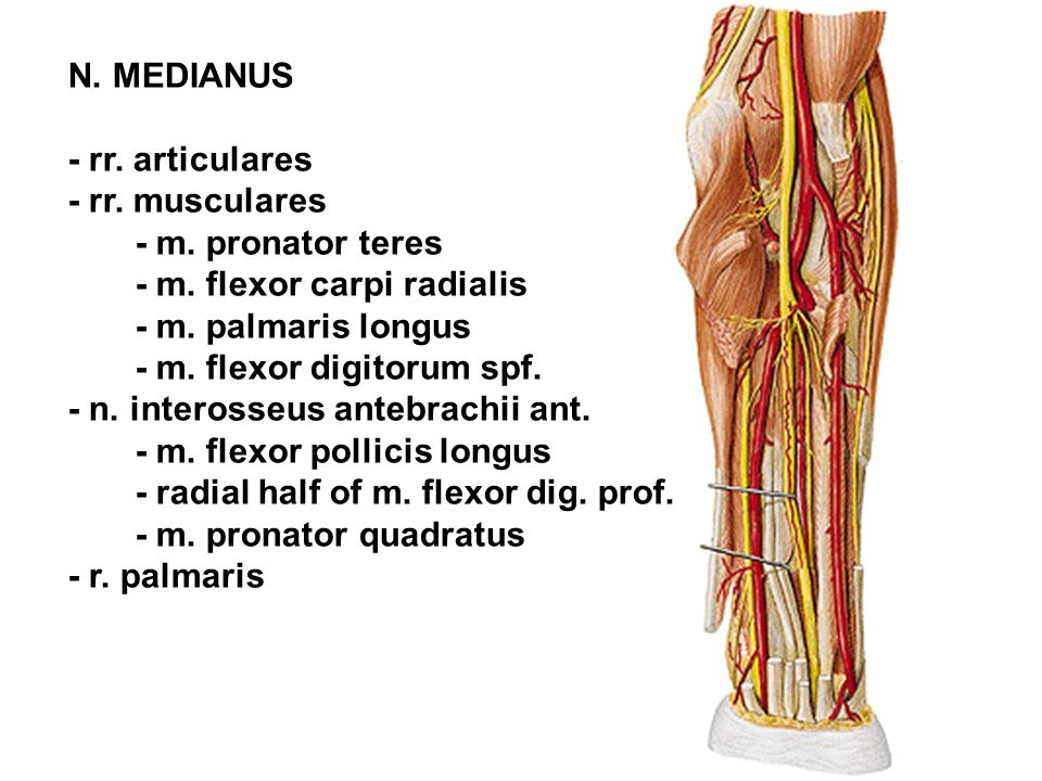N. MEDIANUS - rr. articulares. - rr. musculares. - m. pronator teres. - m. flexor carpi radialis.