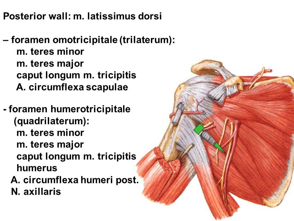 Posterior wall: m. latissimus dorsi