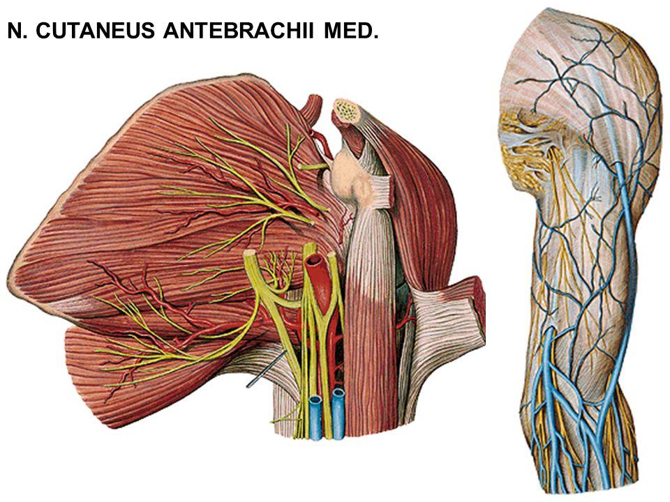 N. CUTANEUS ANTEBRACHII MED.