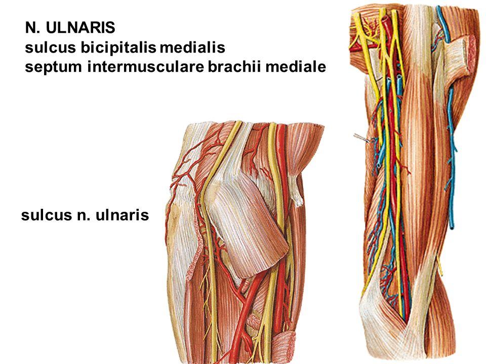 N. ULNARIS sulcus bicipitalis medialis septum intermusculare brachii mediale sulcus n. ulnaris