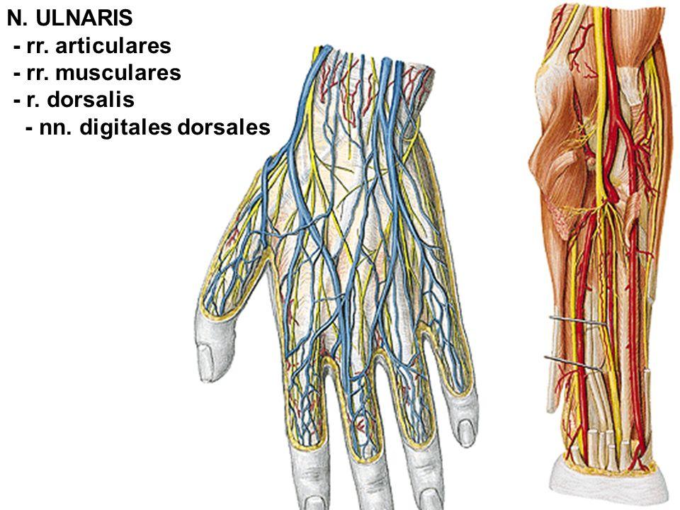 N. ULNARIS - rr. articulares - rr. musculares - r. dorsalis - nn. digitales dorsales