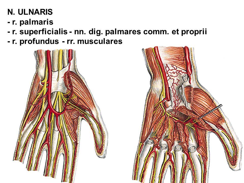 N. ULNARIS - r. palmaris. - r. superficialis - nn.