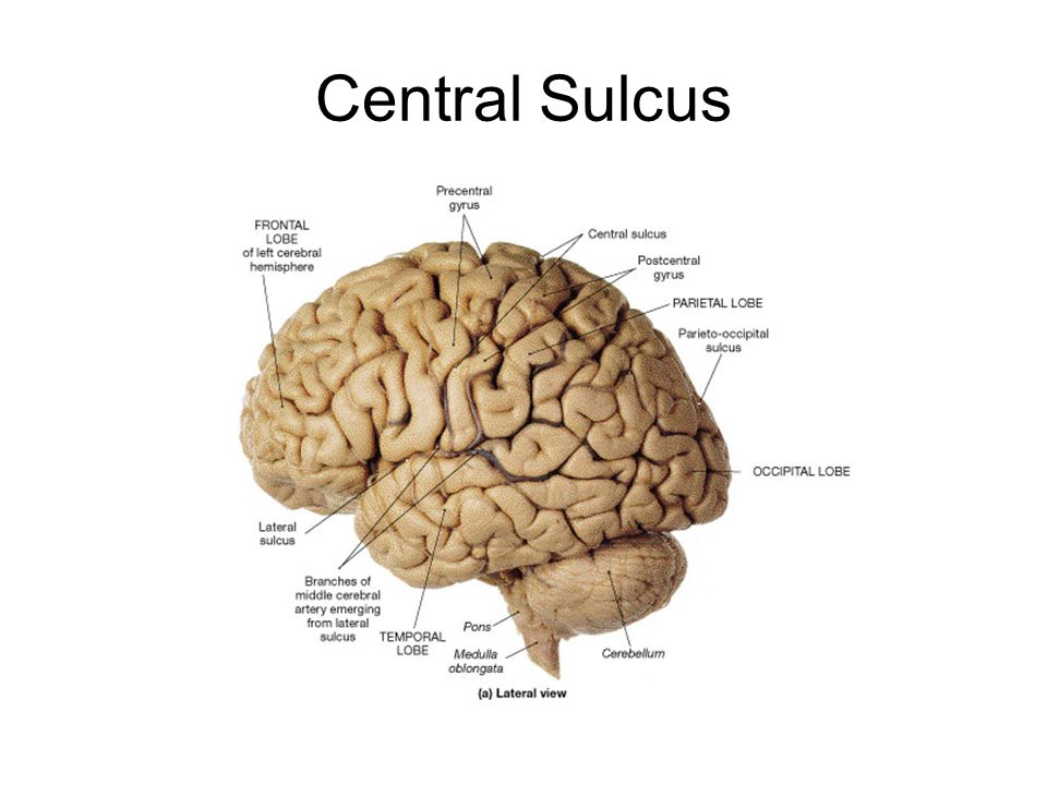 how to find central sulcus