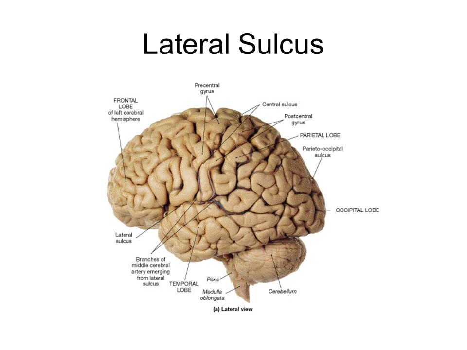 In humans the lobes of the brain are divided by a number of bumps and grooves These are known as gyri bumps and sulci groves or fissures The folding of the brain and the resulting gyri and sulci increases its surface area and enables more cerebral cortex matter to fit inside the skull