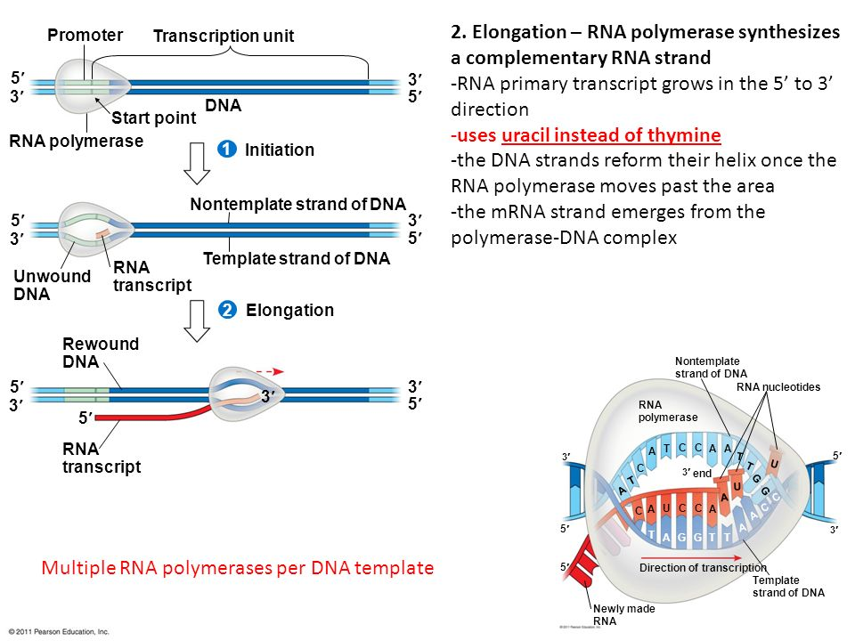 Chapter 17 from gene to protein ppt download multiple rna polymerases per dna template 2 elongation rna polymerase synthesizes a complementary rna strand pronofoot35fo Choice Image
