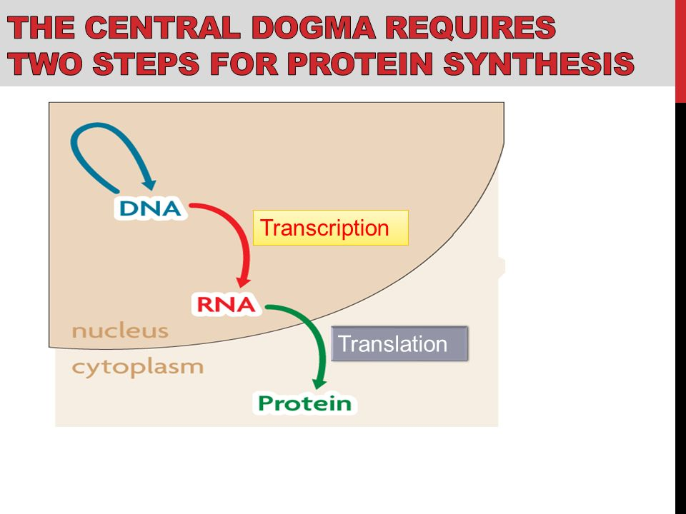 Initial Steps of Protein Synthesis