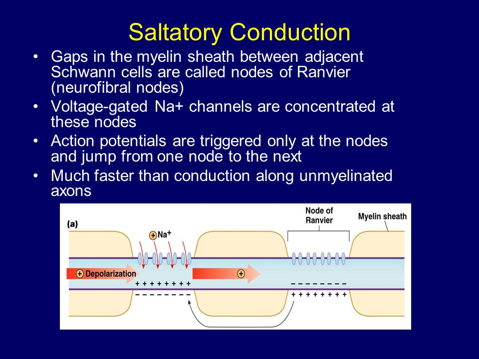 difference between membrane irritability and membrane conductivity
