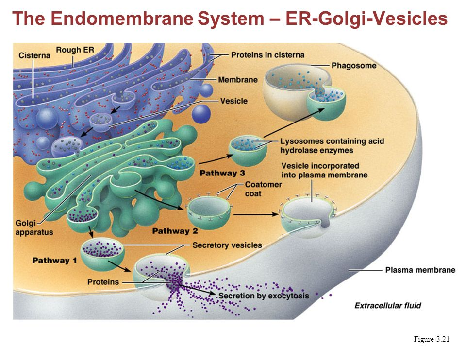 endomembrane system Start studying endomembrane system learn vocabulary, terms, and more with flashcards, games, and other study tools.