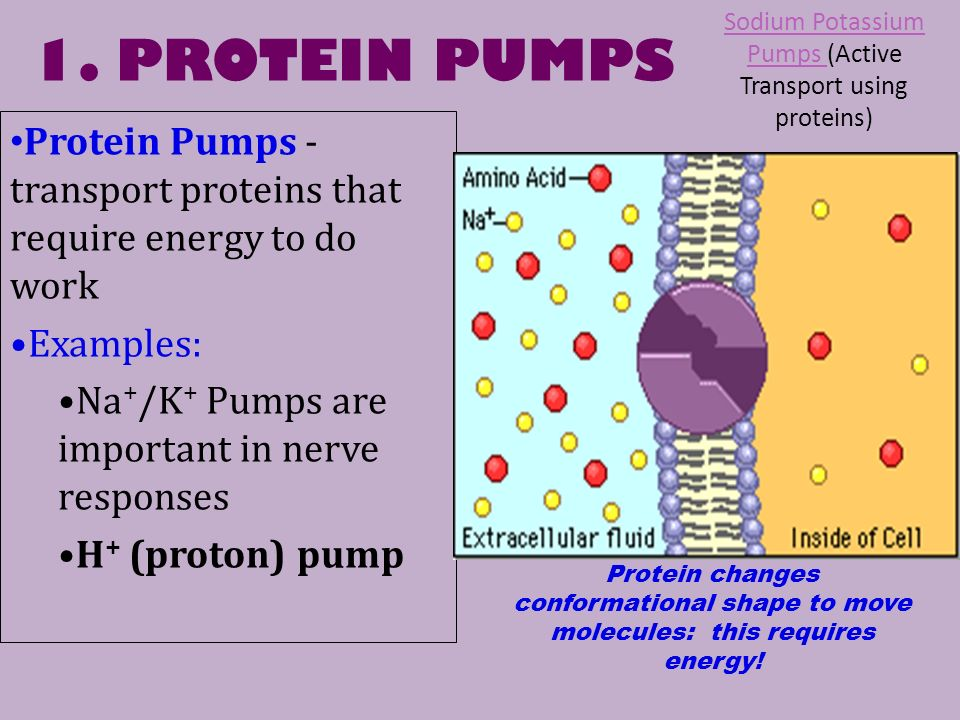 sodium potassium transportation through plasma membrane Of potassium and sodium across plasma membranes in animal cells by using   sodium-potassium pump's ability to transport ions effectively and are used in.