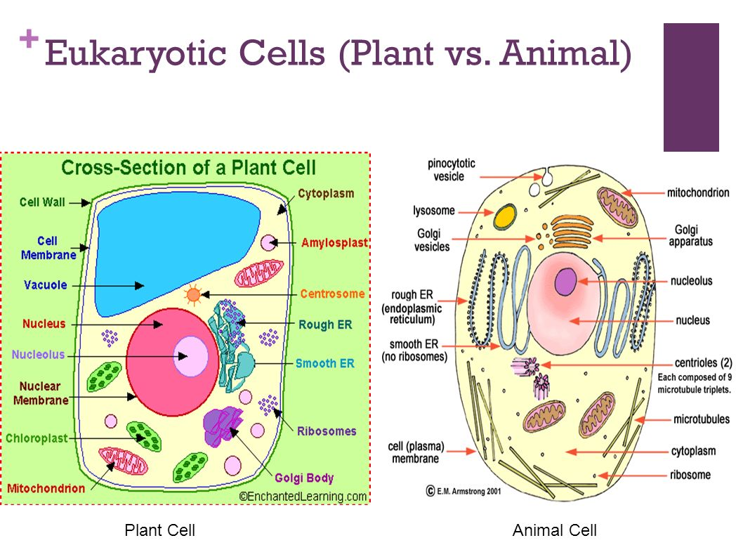 the gallery for gt eukaryotic animal cells