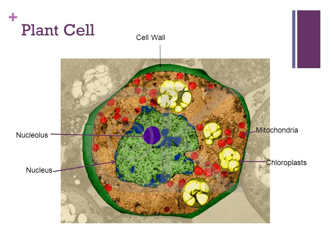 Mitochondria Of A Plant Cell