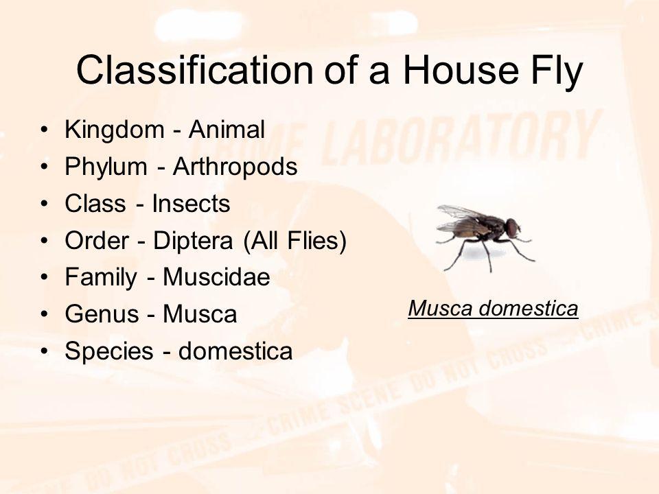 fly pupa