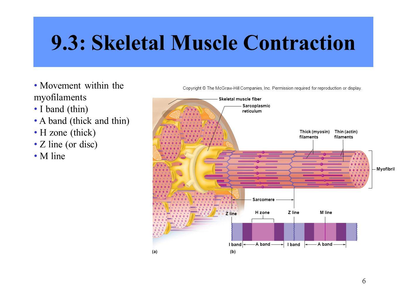 skeletal muscle contraction - Keni.candlecomfortzone.com