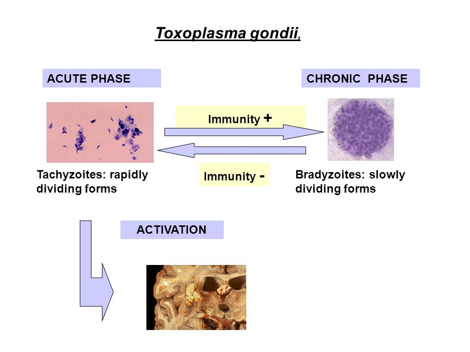 the consequences upon the infection of toxoplasmosis gondii Toxoplasmosis is a disease caused treatment and side effects of infection toxoplasmosis is a disease caused by the parasite toxoplasma gondii in most.