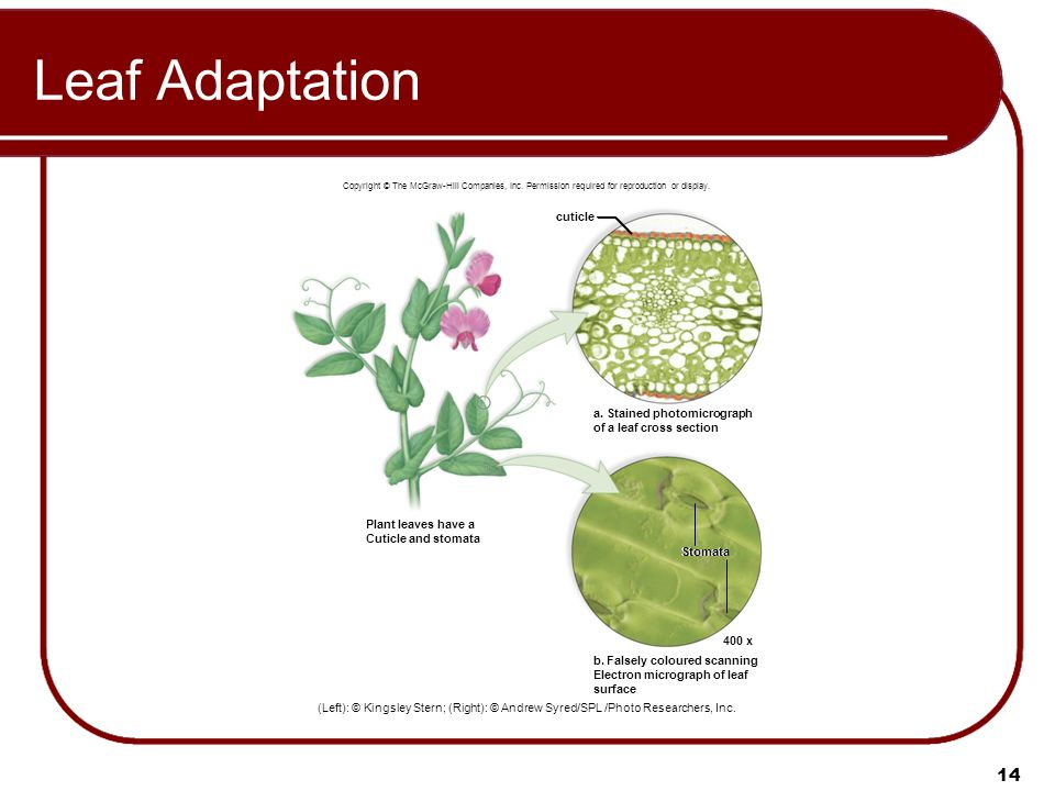 leaf adaptation Xerophytic plants and their adaptations - download as pdf file (pdf), text file (txt) or read online scribd is the world's largest social reading and publishing site  large numbers of stomata well developed sclerenchymaadaptation to dry environment adaptations leaf thick cuticle with low surface area to volume ratio rolled or reduced.