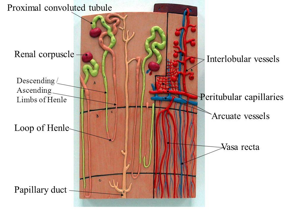 Nephron model vasa recta