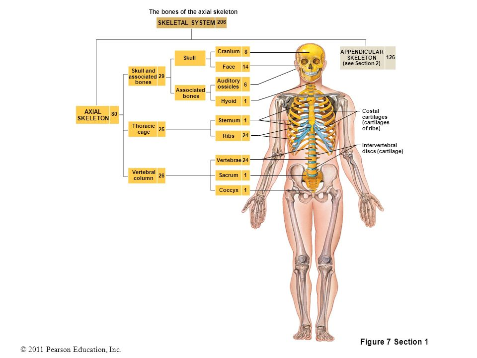 The Bones Of The Axial Skeleton Ppt Download