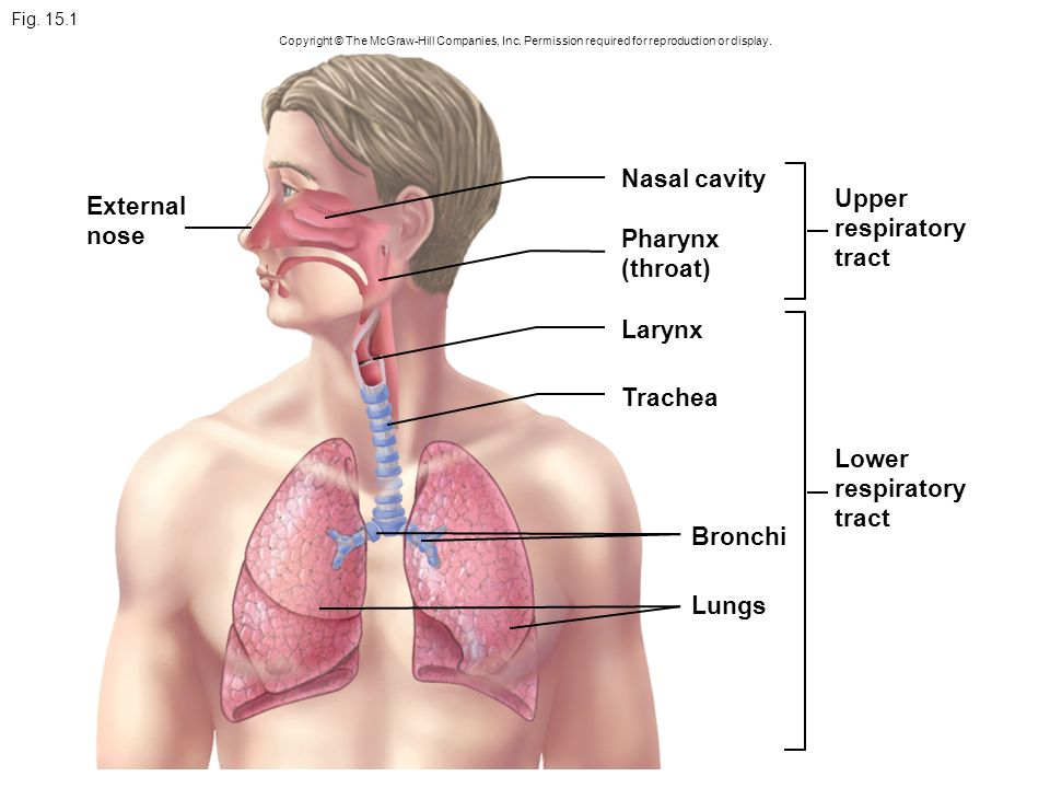 Nasal cavity Upper External respiratory nose tract Pharynx (throat ...