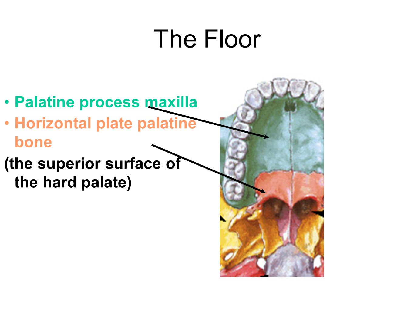 The Floor Palatine Process Maxilla Horizontal Plate Palatine Bone