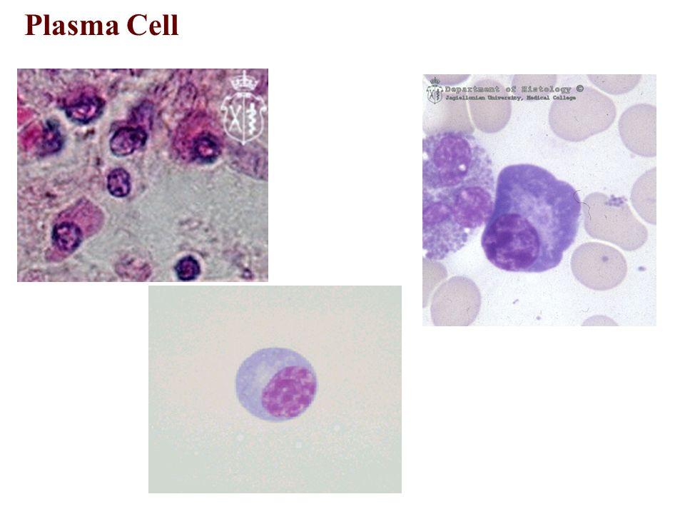The Connective Tissue M. Soleimani , Ph.D. - ppt video ...