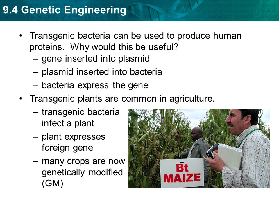 an analysis of the techniques used to generate animals or plants that express genes conferring We have generated transgenic tobacco plants to express animal genes that  negatively  or baculovirus op-iap transgenes conferred heritable resistance to  several necrotrophic  the following antiapoptotic cdna genes were used: (i)  human bcl-2  establishment of transgenic plants and analysis of gene  expression.