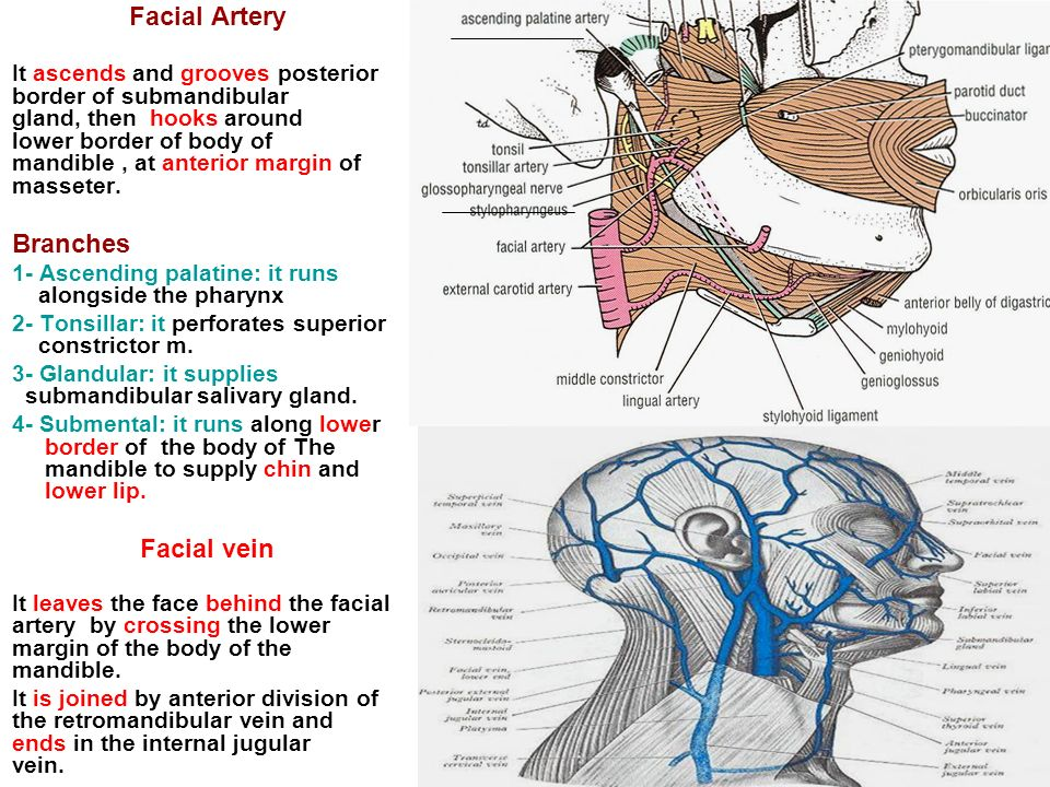 Submandibular Region It lies under cover of the body of ...