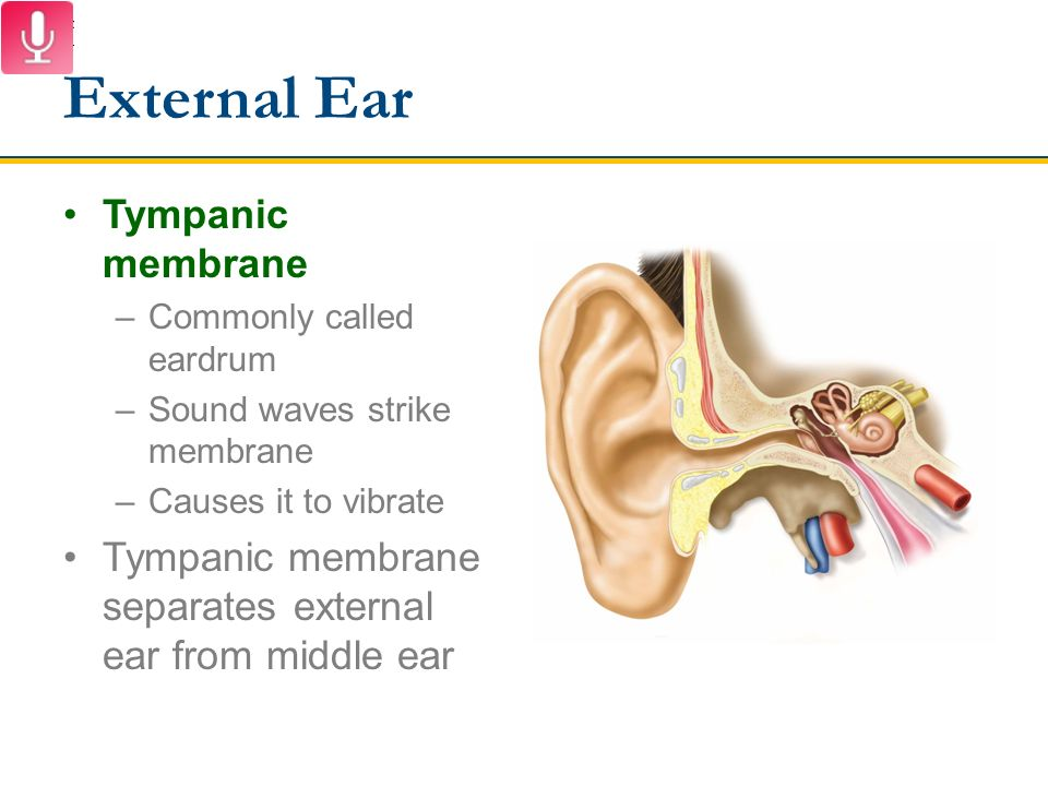 Outstanding Ear Anatomy Tympanic Membrane Image Collection - Human ...