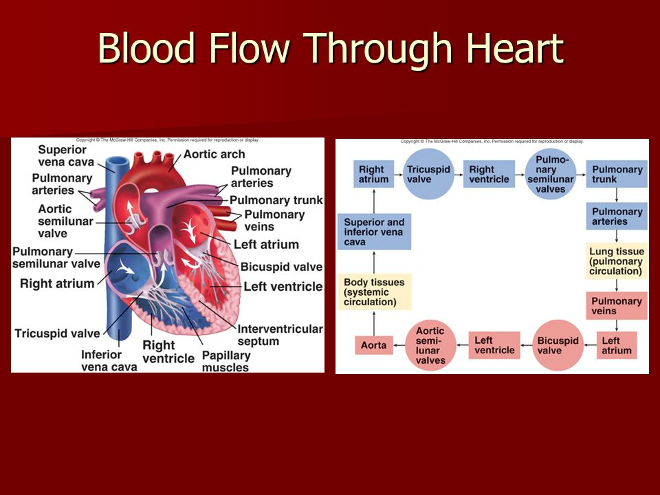blood flow Blood is pumped through the chambers, aided by four heart valves the valves open and close to let the blood flow in only one direction congenital defects may involve a.