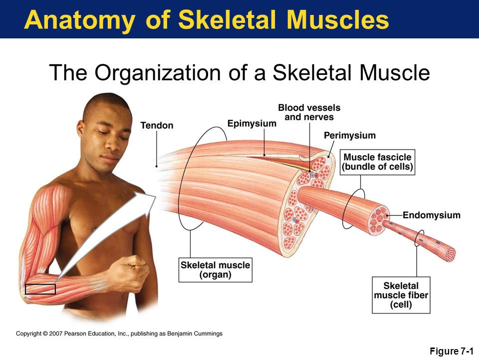 gross anatomy of muscular system labpaq The gross anatomy of a muscle is the most important indicator of its role in the body muscular system on the anterior and.