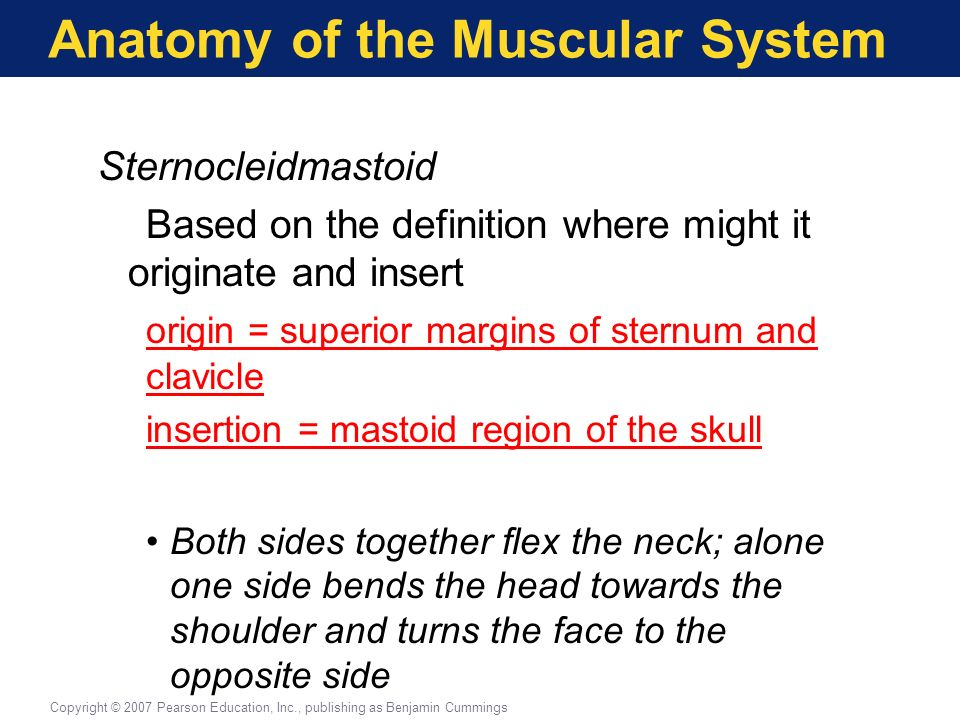 muscular system vocabulary - ppt download, Muscles