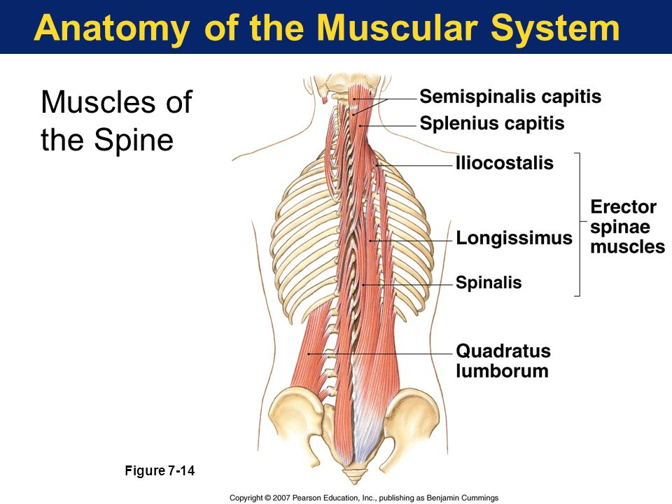 Anatomy 101 Understand Your Quadratus Lumborums t