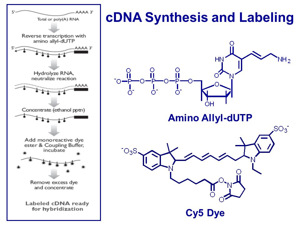 cdna sysnthesis