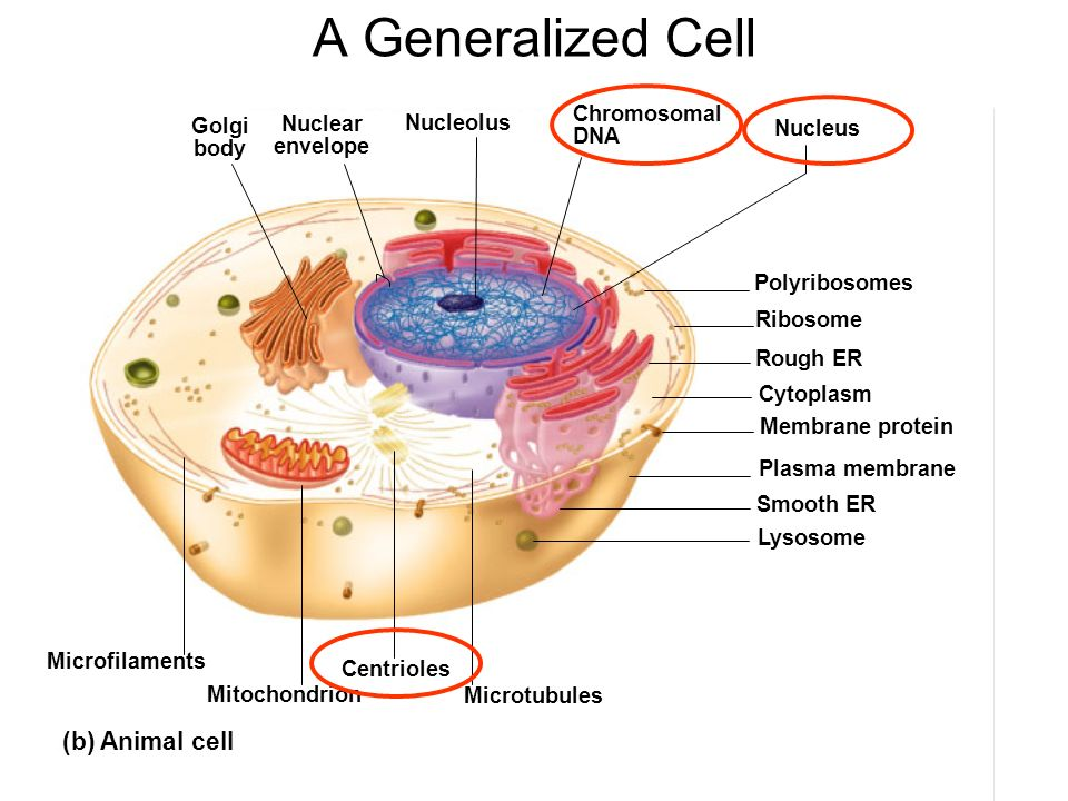 Centriole in animal cell