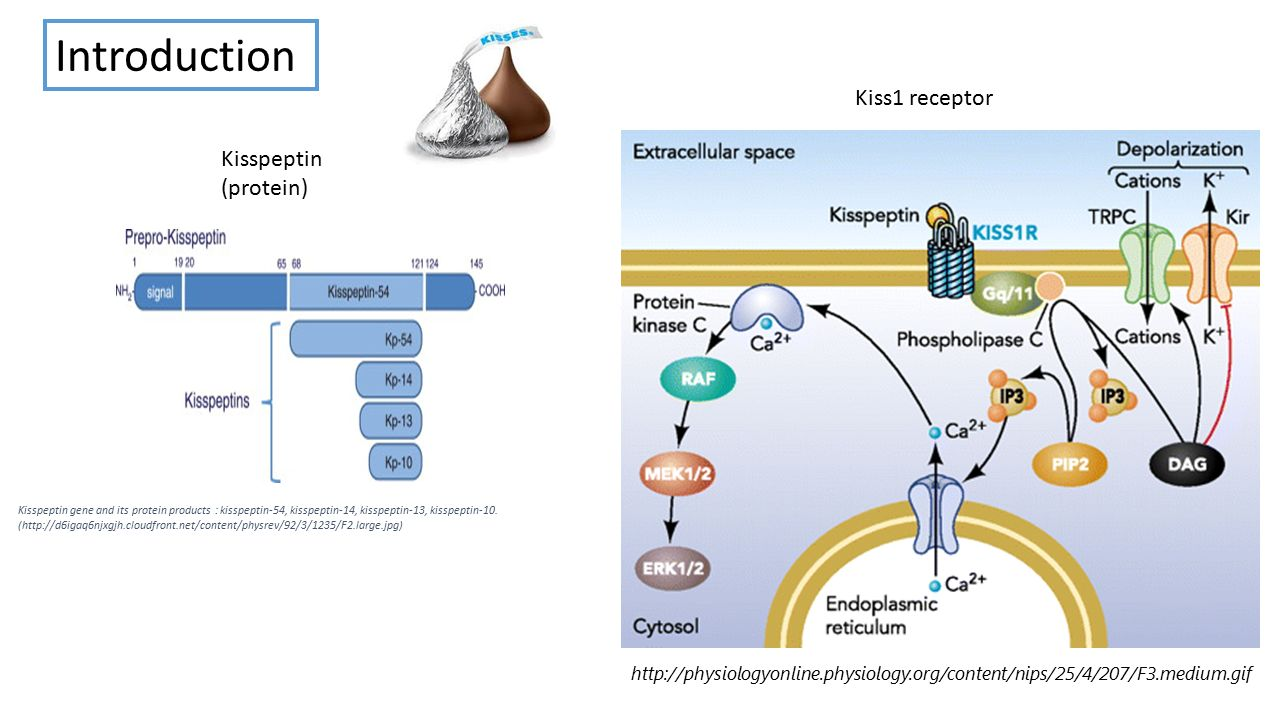 Kisspeptin Gnrh Neurons: The Role Of Kisspeptin In Neuroendocrine Disorders