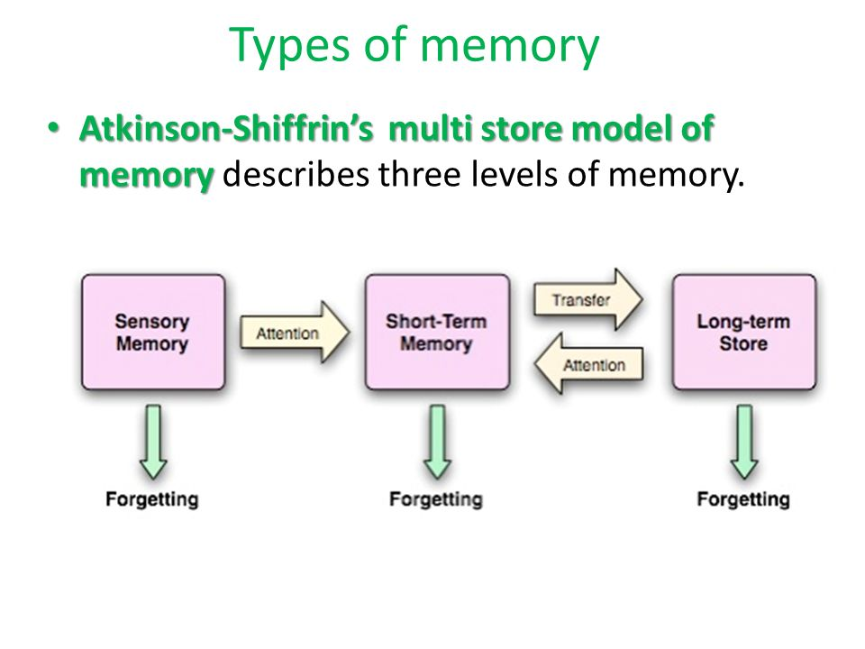 multi store model of memory the The human memory - types of memory  a unitary process, is known as the  modal or multi-store or atkinson-shiffrin model, after richard atkinson and  richard.