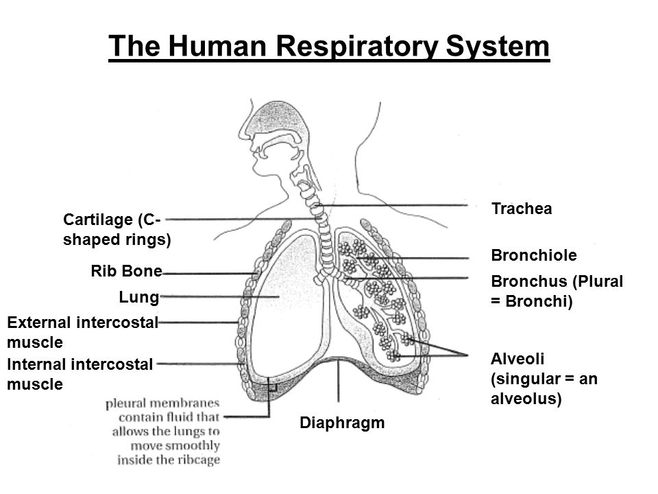 Mammalian gas exchange ppt video online download 2 the human respiratory system ccuart Gallery