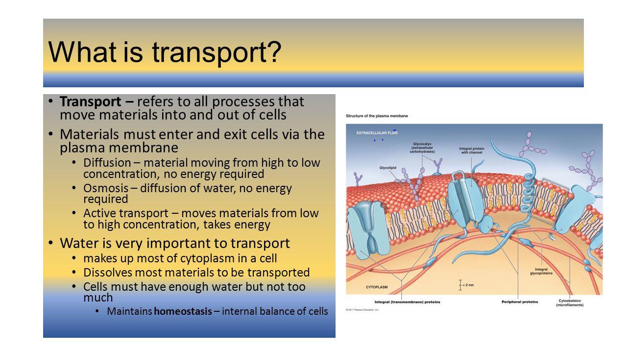 100 Transport In Cells Worksheet – Transport in Cells Worksheet