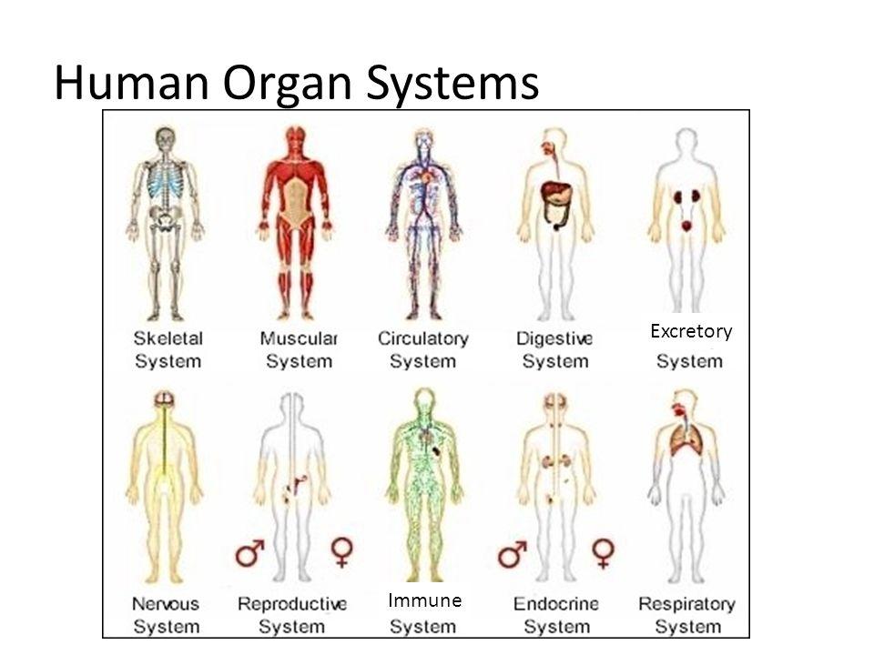 Fantastisch Menschliche Organsysteme Zeitgenössisch - Menschliche ...
