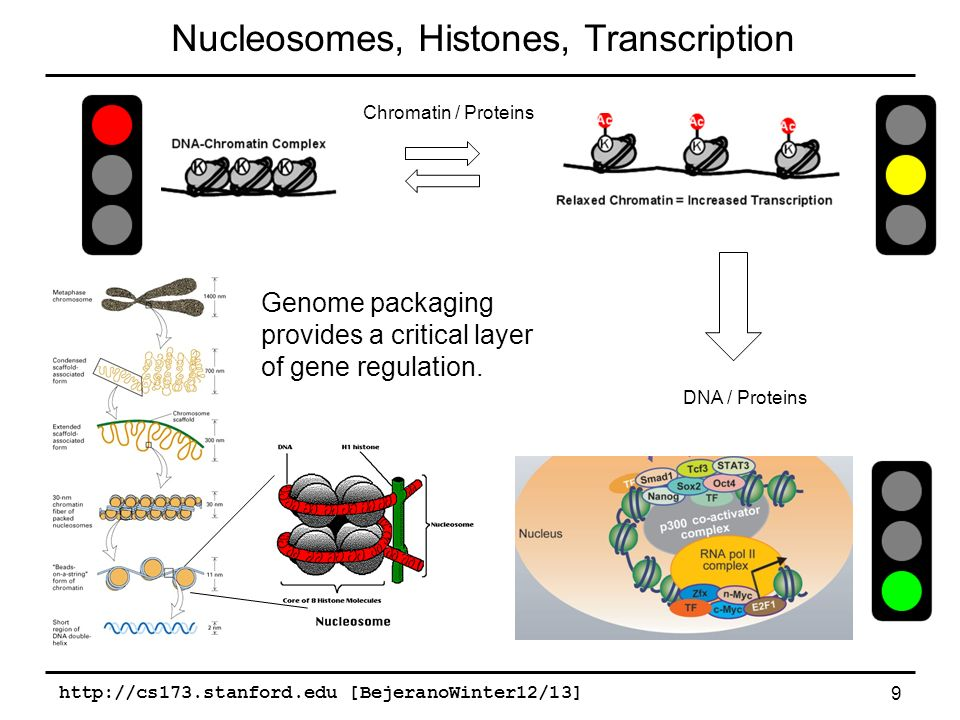 relationship between dna chromatin histones and nucleosomes transcription