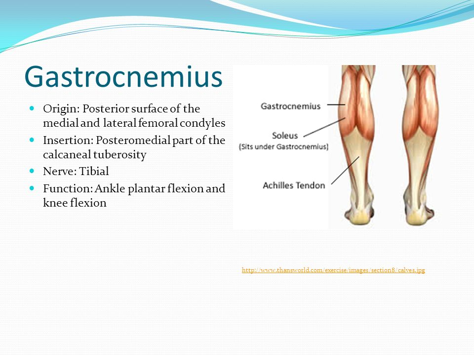 Muscles of the Calf, Thigh, and Hip - ppt download
