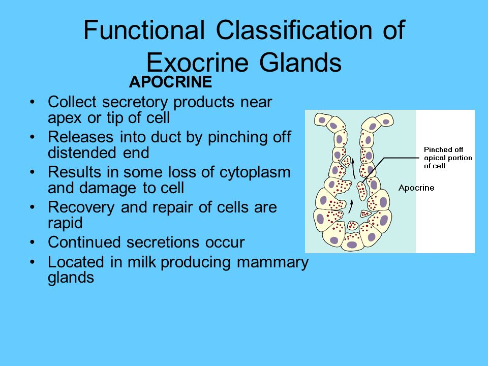 exocrine glands Difference between endocrine and exocrine glands can show in main ducts, response time, and duration of action click to find out the chart of differences.