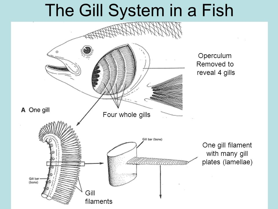 Diagram Of Fish Gills Auto Wiring Diagram Today